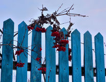 Bunches red rowan on a wooden fence Royalty Free Stock Photography