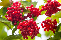Bunches of red viburnum berries on a branch in late summer Stock Photography