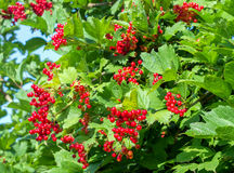 Bunches of red viburnum berries on a branch. Ripening in late summers stock photo