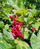 Bunches of red viburnum berries on a branch. Ripening in late summers royalty free stock image