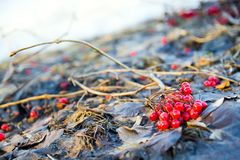 Bunches of red viburnum berries in the fall. stock photography