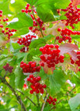 Bunches of red viburnum on the bush. Some ripe viburnum on branch against the leaves Royalty Free Stock Images