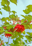 Bunches of red viburnum on the bush. Some ripe viburnum on branch against the leaves stock image