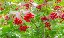 Bunches of red viburnum on the bush. Some ripe viburnum on branch against the leaves Royalty Free Stock Photo