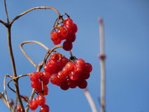 Bunches of red viburnum, red berries, Guelder rose Stock Photo