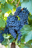 Bunches of red wine grapes Stock Photography