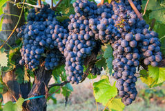 Bunches of Red Wine Grapes Stock Photos