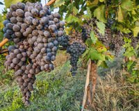 Bunches of Red Wine Grapes Royalty Free Stock Photography