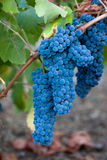 Bunches of Red wine grapes. Blue clusters of wine grapes hanging from the vine ready for picking Stock Photos
