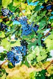 Bunches of red wine grapes. Hanging on the vine Royalty Free Stock Images