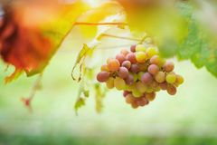 Bunches of red wine grapes growing in Italian fields. Close up. View of fresh red wine grape Stock Photography