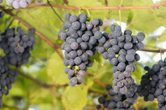 Bunches of red wine grapes growing in Italian fields. Close up view of fresh red wine grape. Bunches of red wine grapes. Hanging on the wine in late afternoon royalty free stock photos
