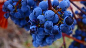 Bunches of red wine grapes hanging stock footage