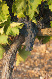 Bunches of red wine grapes hanging from old vine Royalty Free Stock Photos