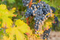 Bunches of red wine grapes hanging from old vine Royalty Free Stock Images