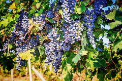 Bunches of red wine grapes. Hanging on the vine Royalty Free Stock Photography