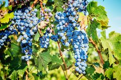 Bunches of red wine grapes. Hanging on the vine Royalty Free Stock Image