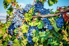 Bunches of red wine grapes. Hanging on the vine Stock Photos