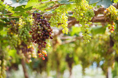Bunches of red wine grapes hanging on the vine. Bunches of wine grapes hanging on the vine with green leaves Royalty Free Stock Images