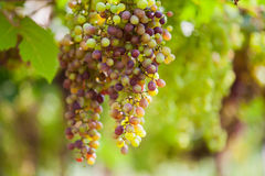 Bunches of red wine grapes hanging on the vine. Bunches of wine grapes hanging on the vine with green leaves Stock Image