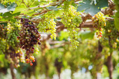 Bunches of red wine grapes hanging on the vine. Bunches of wine grapes hanging on the vine with green leaves Stock Photos