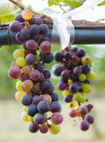 Bunches of red wine grapes hanging on the vine. With sunset in the morning Stock Image