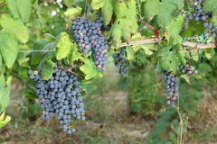 Bunches of red wine grapes hanging on the wine Stock Photo