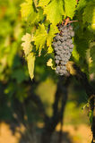 Bunches of red wine grapes hanging on the wine Stock Images