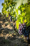 Bunches of red wine grapes hanging on the wine Royalty Free Stock Photo