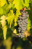 Bunches of red wine grapes hanging on the wine Royalty Free Stock Photos