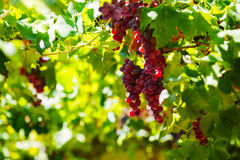 Bunches of red wine grapes hanging on the wine in late afternoon sun. Stock Photography