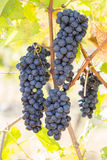 Bunches of red wine grapes Royalty Free Stock Photos