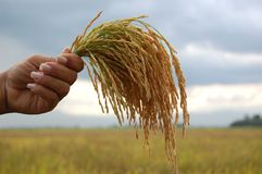 Bunches of rice in the air royalty free stock images