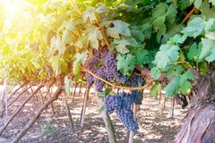 Bunches of ripe blue grape on plantation closeup. stock photography