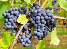 Bunches of ripe blue grapes Stock Image