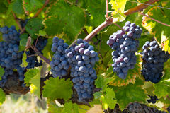 Bunches of ripe blue grapes Stock Photography