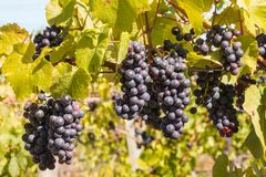 Bunches of ripe Cabernet Sauvignon grapes on vine in vineyard. At harvest time royalty free stock photography