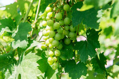 Bunches of ripe grapes on a branch. Winemaking. Problems and diseases of grapes. Stock Images