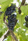 Bunches of ripe grapes. Royalty Free Stock Images