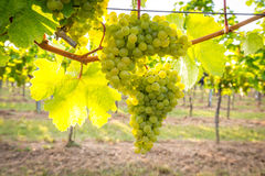 Bunches of ripe grapes growing in vineyard at sunset. Almost ready for harvest. Royalty Free Stock Image