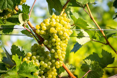 Bunches of ripe grapes growing in vineyard at sunset. Almost ready for harvest. Stock Image