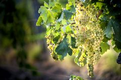Bunches of ripe grapes before harvest. royalty free stock photo