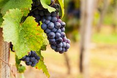 Bunches of ripe grapes before harvest. Sweet vineyard background royalty free stock image