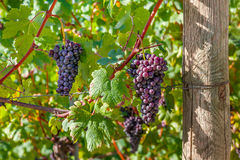 Bunches of ripe grapes in Italy. Royalty Free Stock Photography