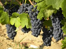Bunches of ripe grapes ready for harvest royalty free stock photos