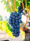 Bunches of ripe grapes on the vine Royalty Free Stock Photos