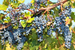 Bunches of ripe grapes on the vine Royalty Free Stock Images