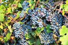 Bunches of ripe grapes on the vine Royalty Free Stock Photography