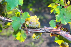Bunches of ripe grapes on the vine Stock Images