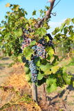 Bunches of ripe grapes on the vine Stock Image